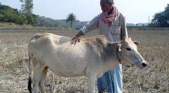 cow fattening
